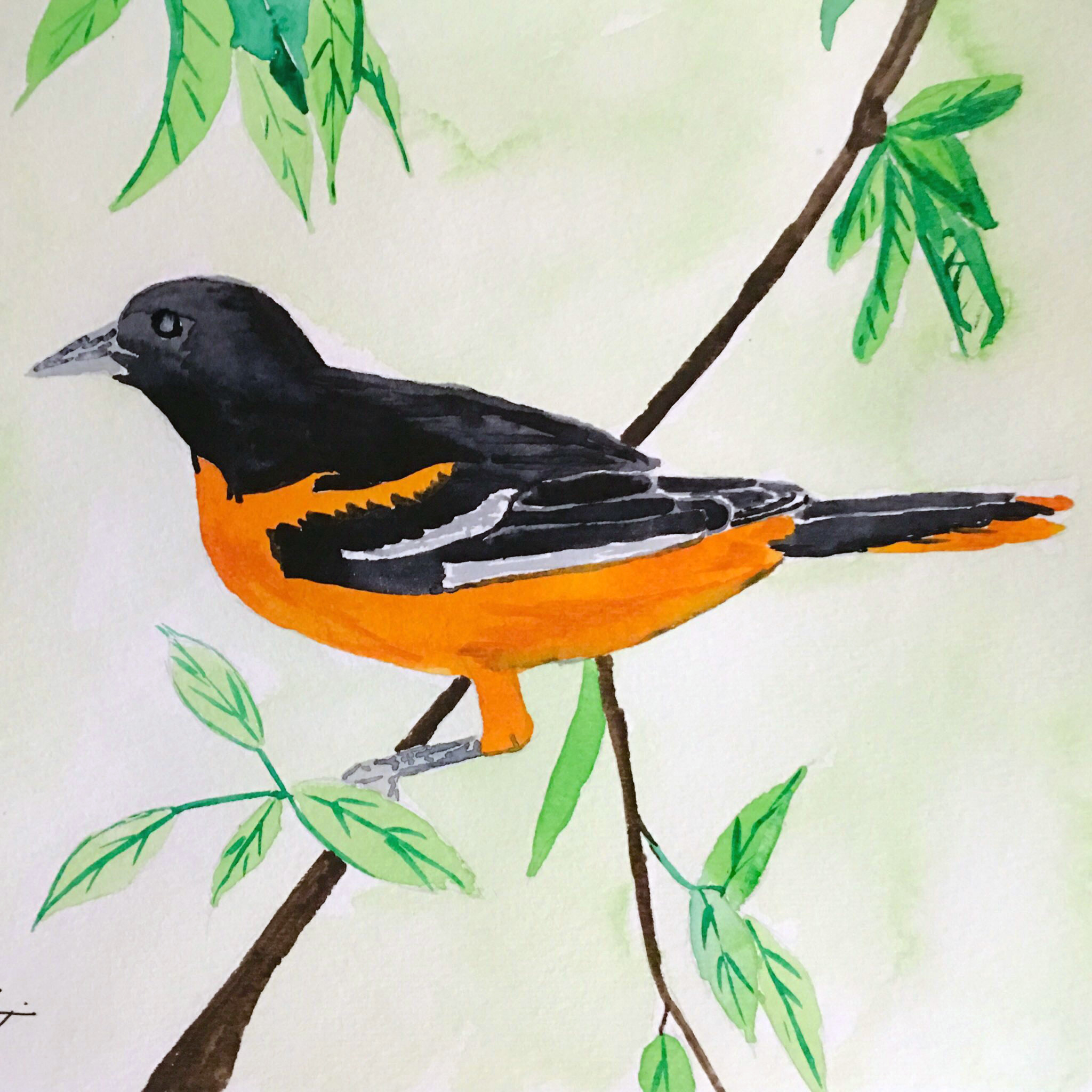 11_Baltimore_Oriole-MD