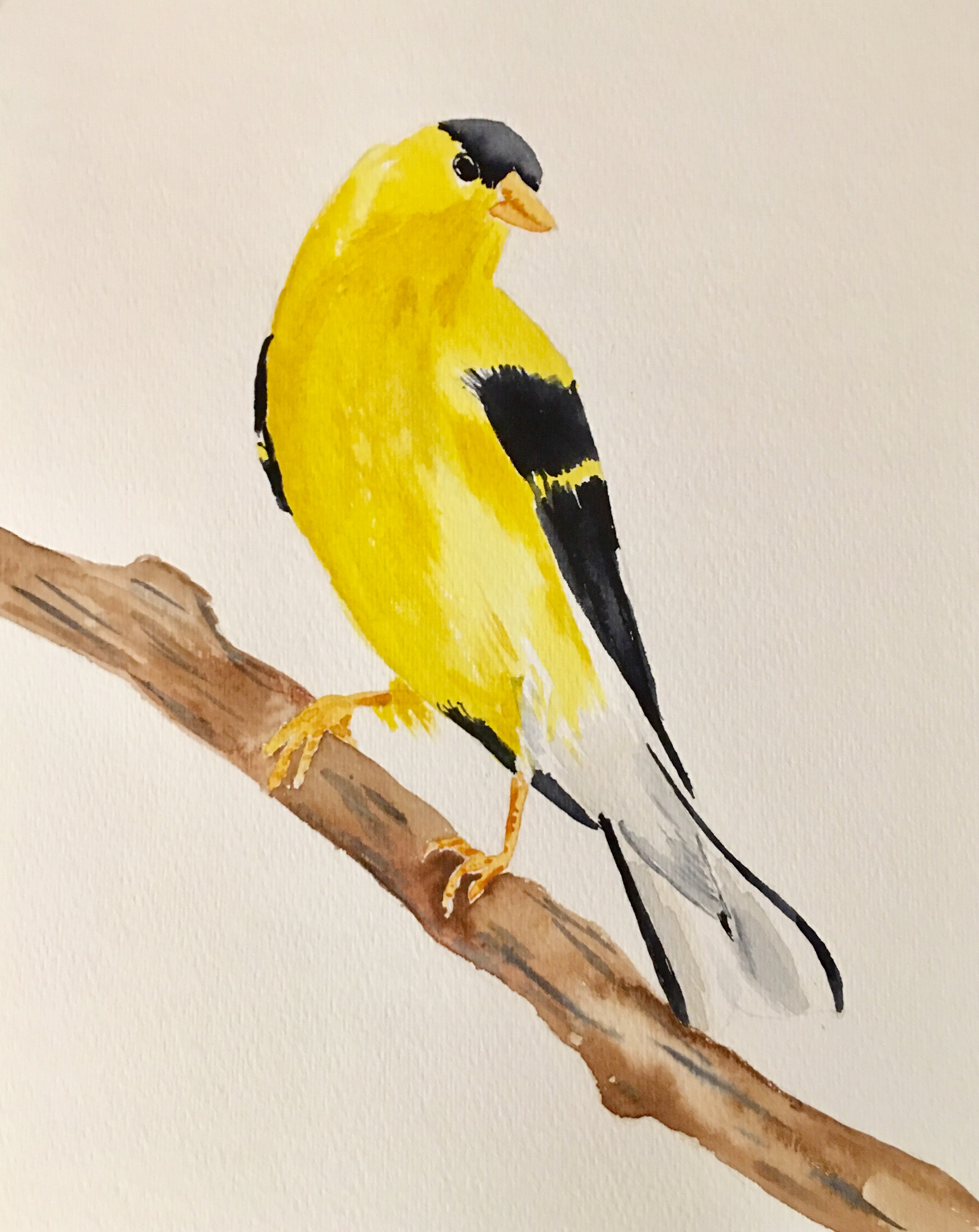 26_EasternGoldfinch-IA_NJ_WA