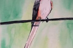 21_Scissor-tailed_Flycatcher-OK