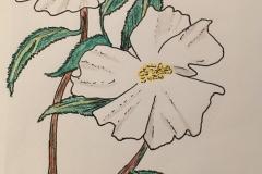 4_Cherokee_Rose-GA
